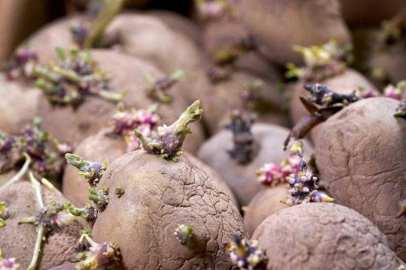 Grüne Kartoffeln in Pflanzkartoffeln verwandeln