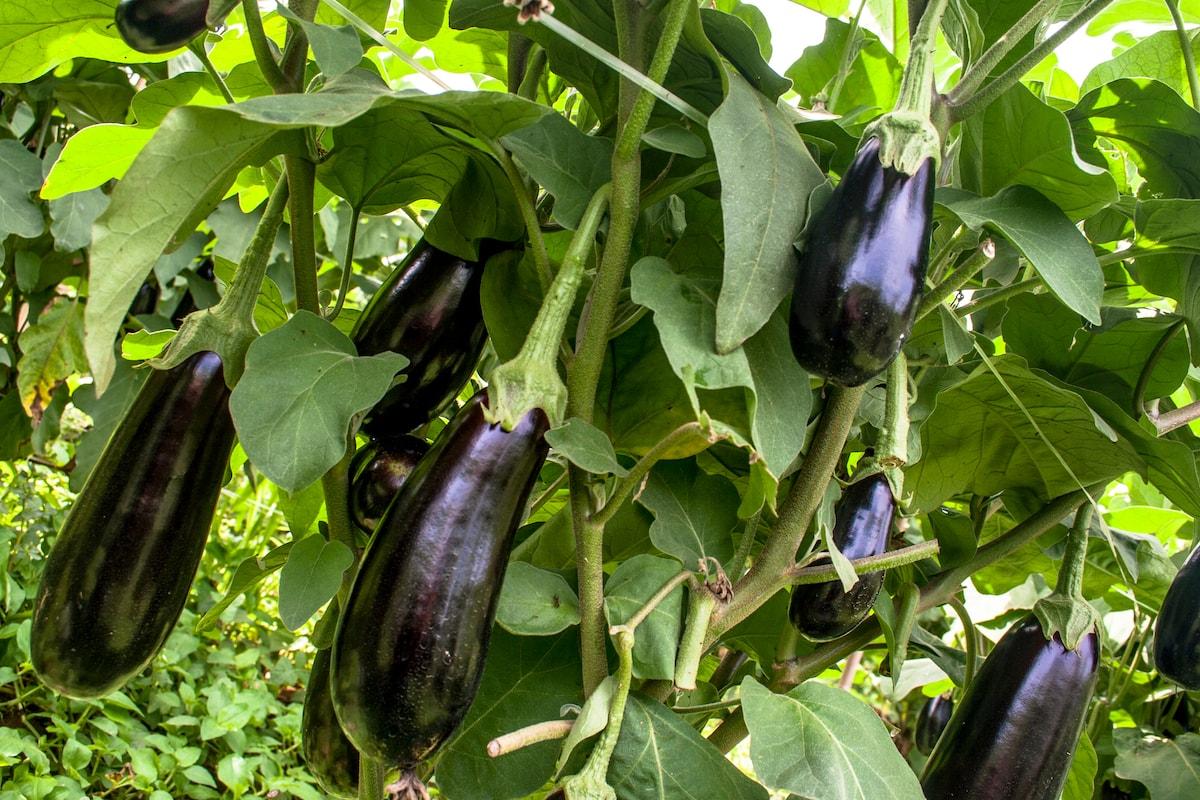 Aubergine-pflanzen-im-Garten