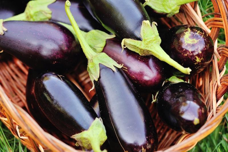 Aubergine-pflanzen-Ernte