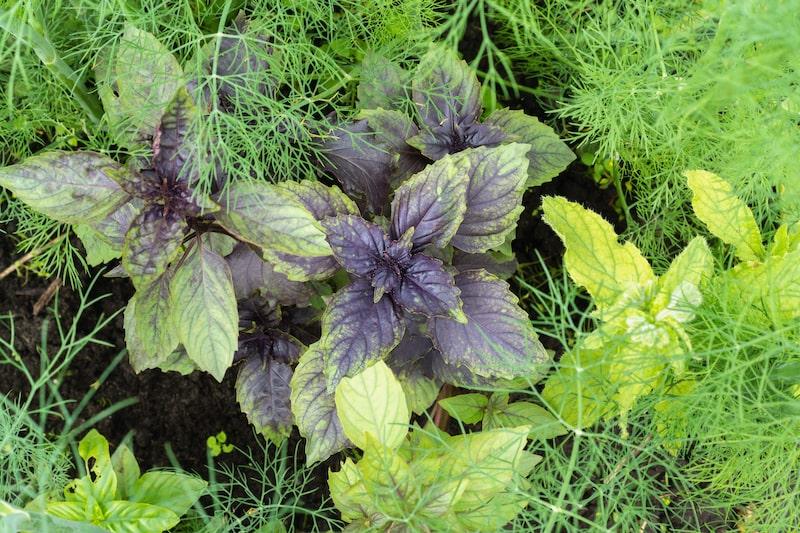 Basilikum on Mischkultur mit Fenchel pflanzen