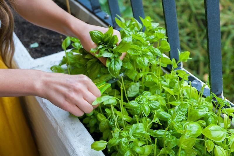 Basilikum pflanzen und ernten