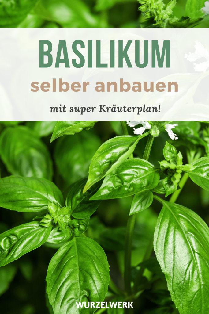 Basilikum pflanzen