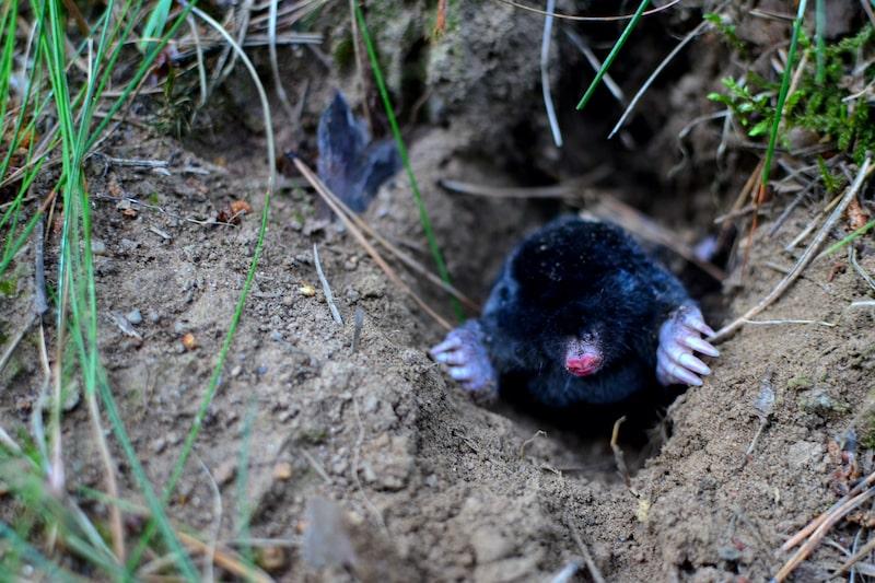 Bodenlebewesen-födern-Maulwurf