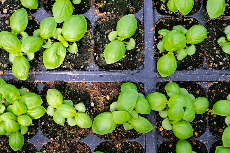 Basilikum Jungpflanzen im Topf pflanzen
