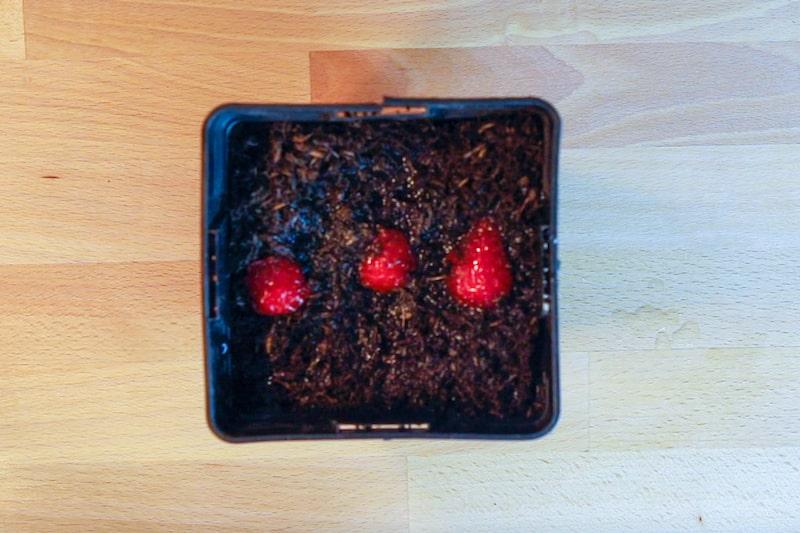 Regrowing_Erdbeeren_im_topf