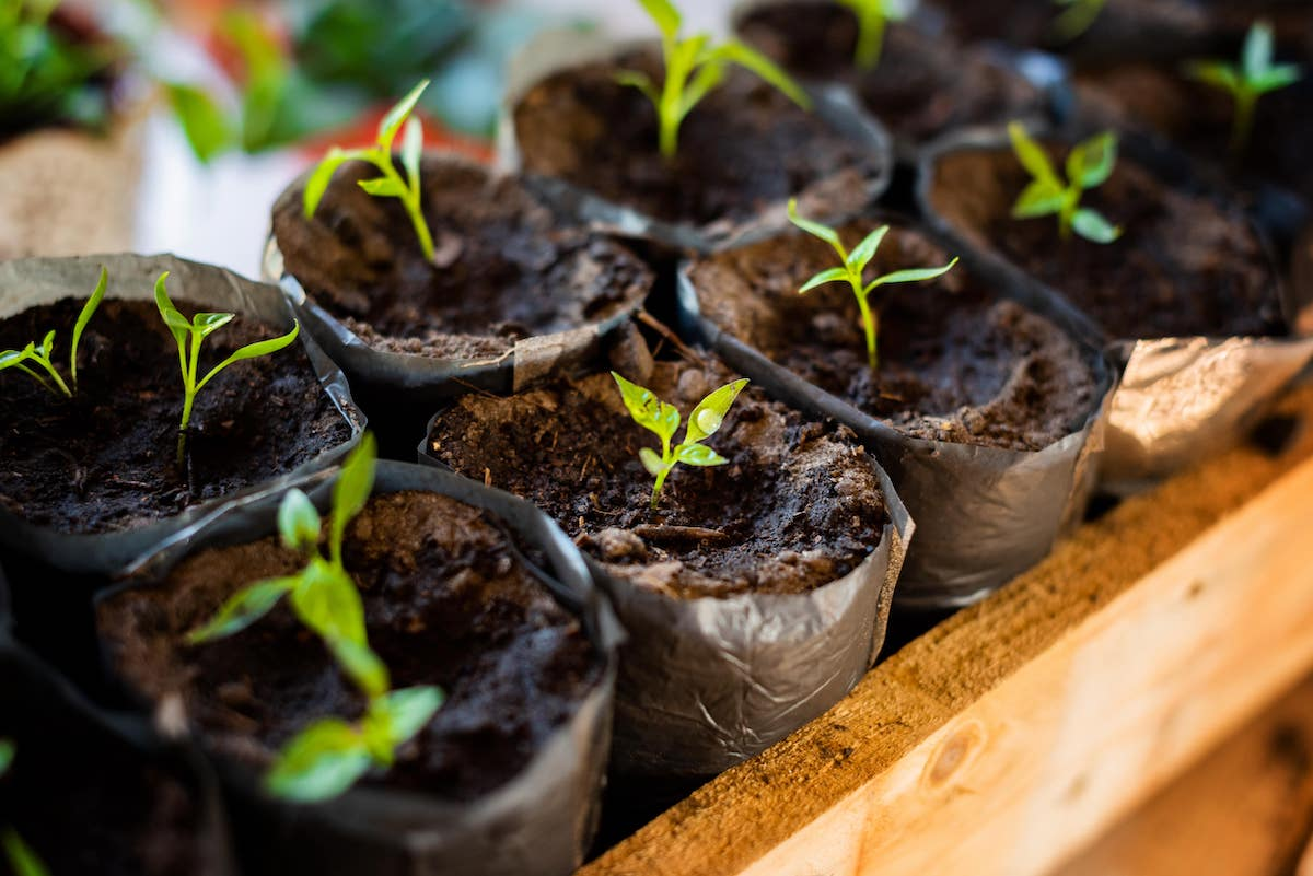 Jungpflanzen Anzucht Aussaat Chili Paprika Januar