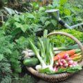 Ganzjährig-Gemüse-ernten