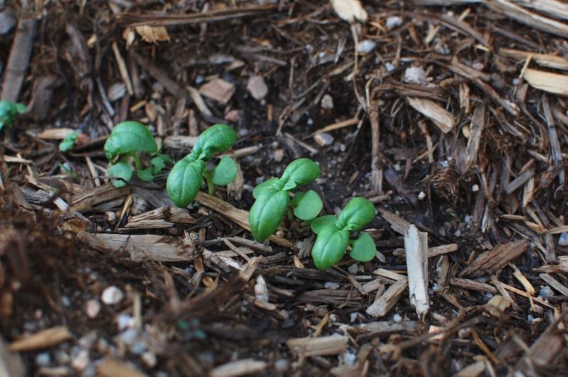 Kräuter zusammen pflanzen Basilikum