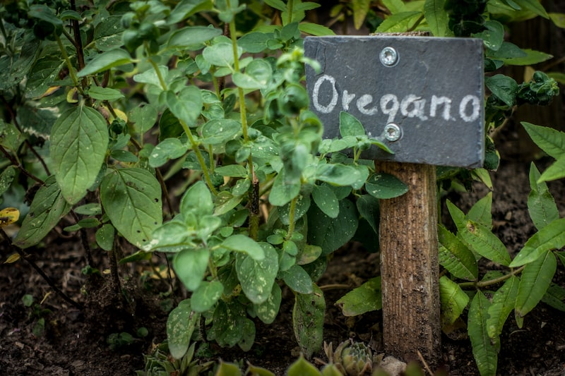 Kräuter zusammen pflanzen Oregano