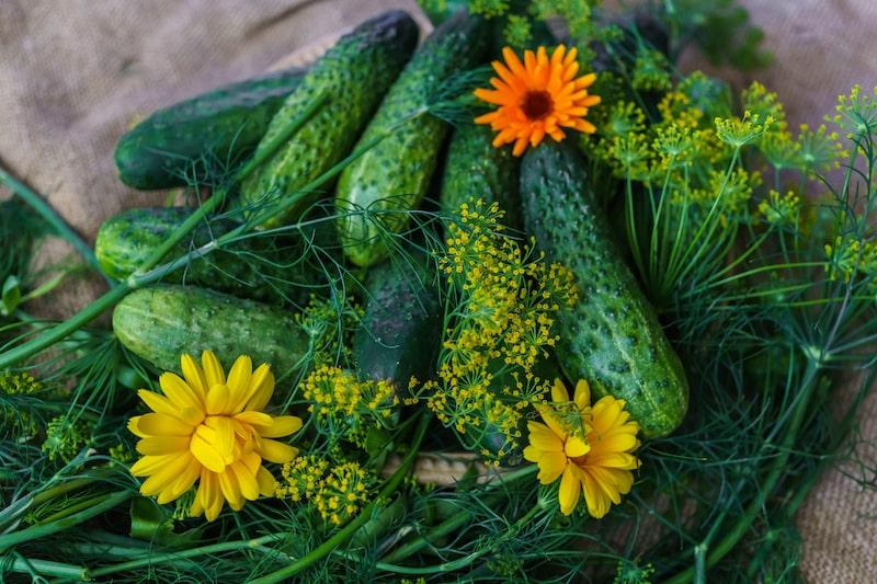 Kräuter zusammen pflanzen Gurke Dill