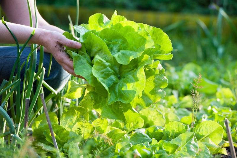 Salat-ernten-ganzjährig