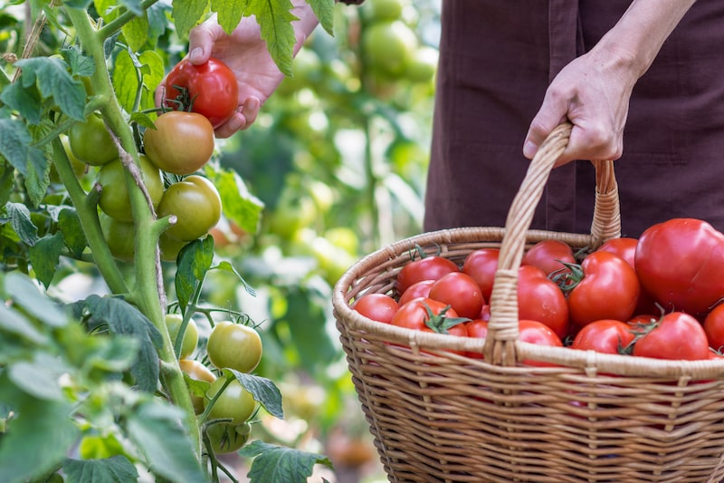 Tomaten ernten