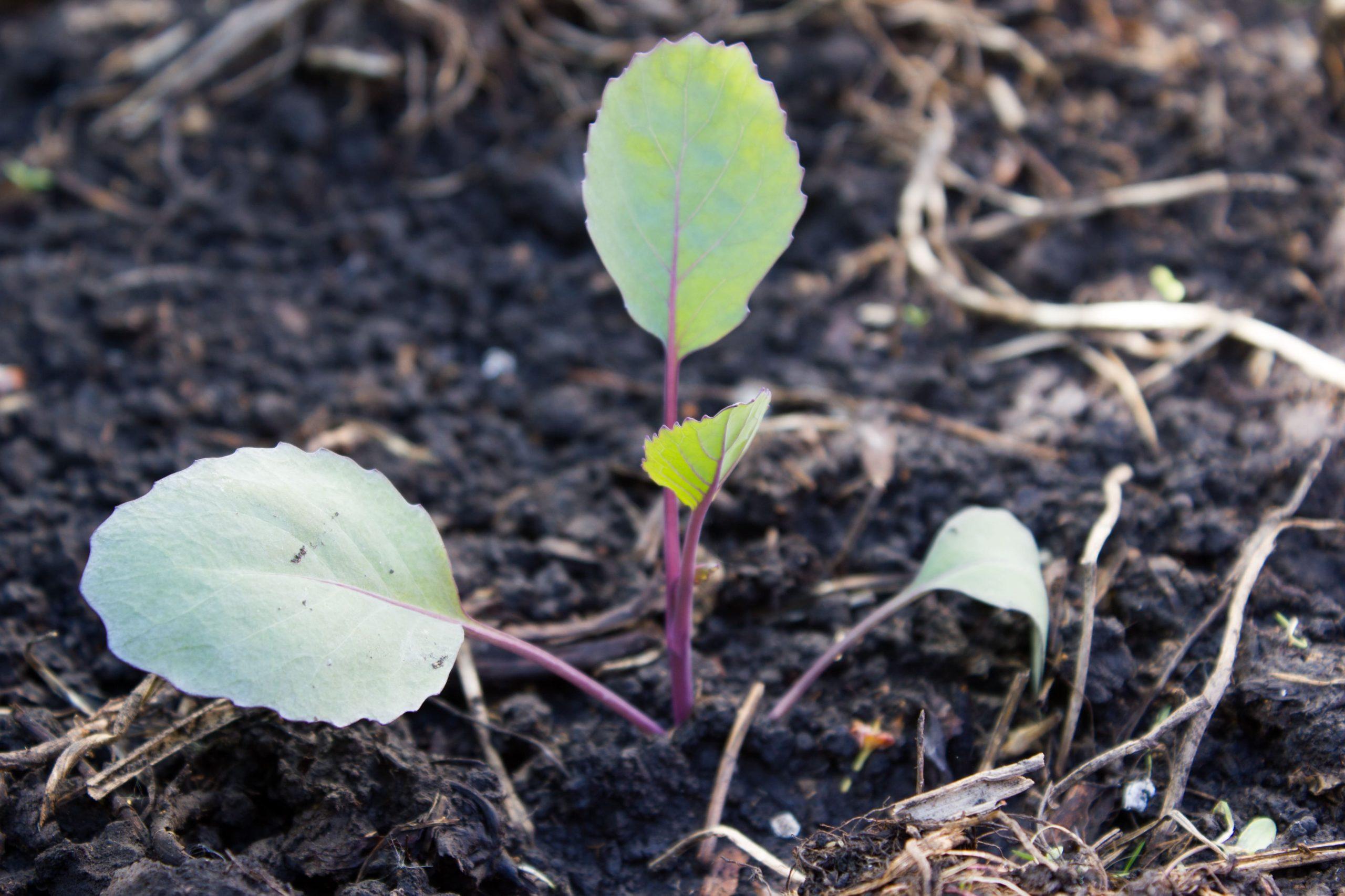 Rotkohl-junfpflanzen-pflanzen