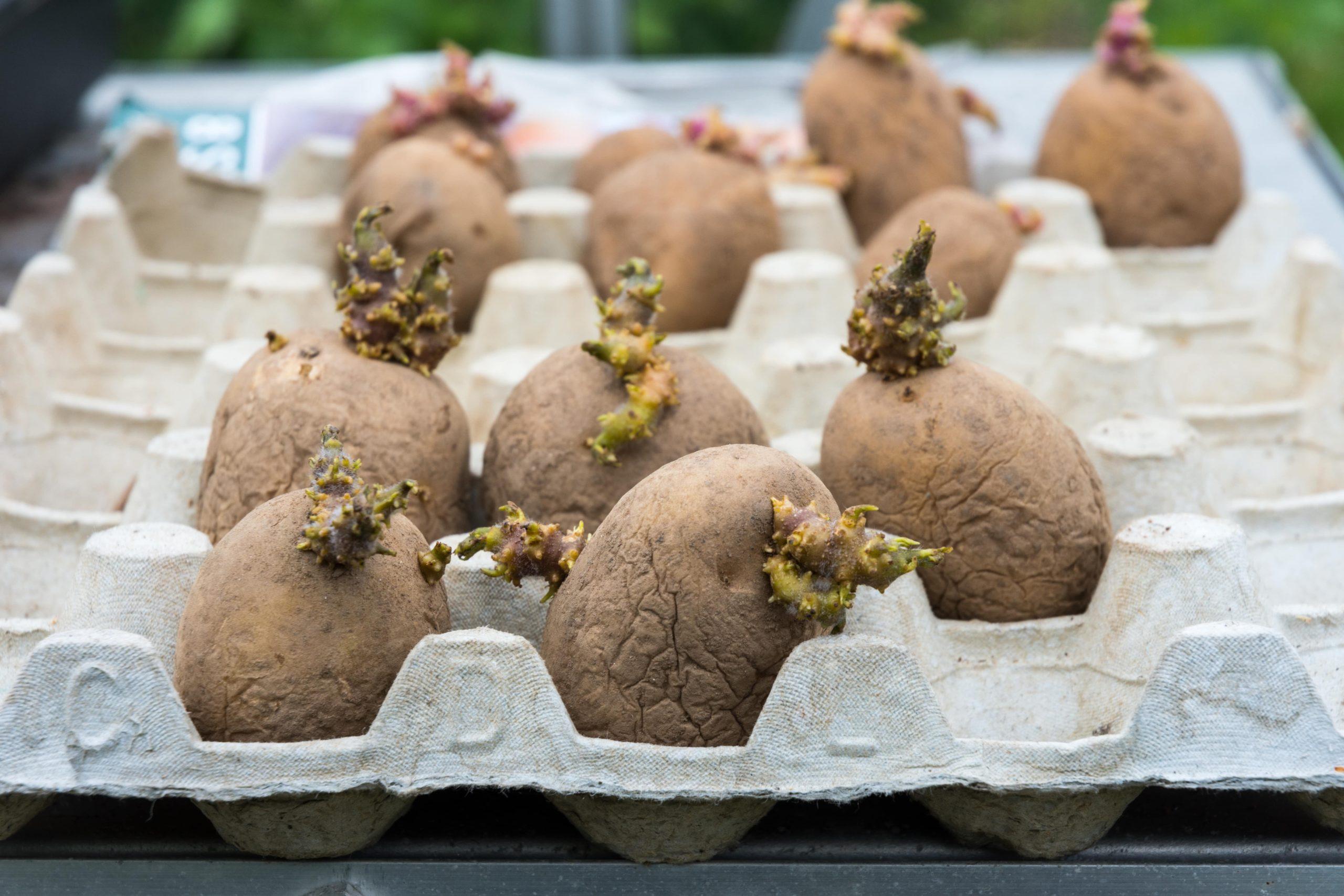 Kartoffeln vorkeimen in Schale