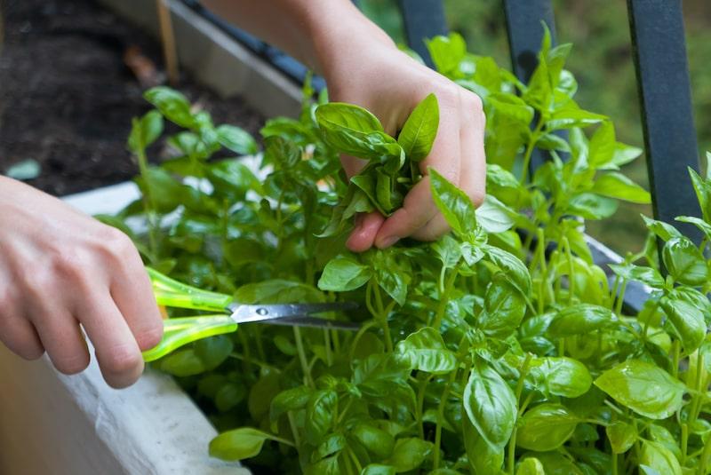 Basilikum Ernten und trocknen Triebe schneiden