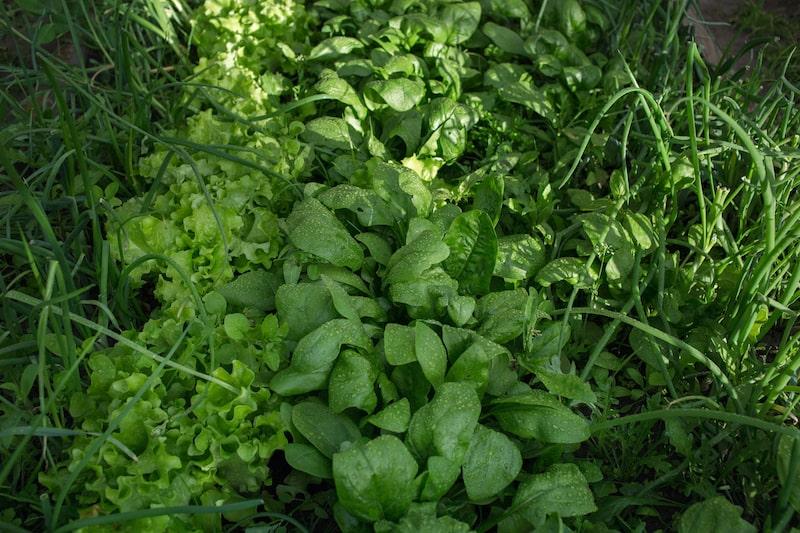 Gemüseanbau Kräuter