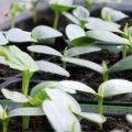 Gurken_Vorziehen_Jungpflanzen