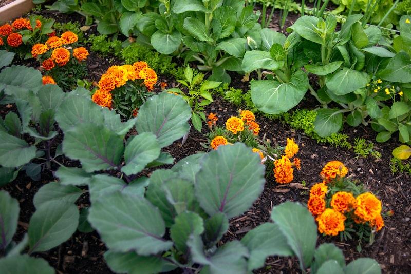 Gemüseanbau Mischkultur