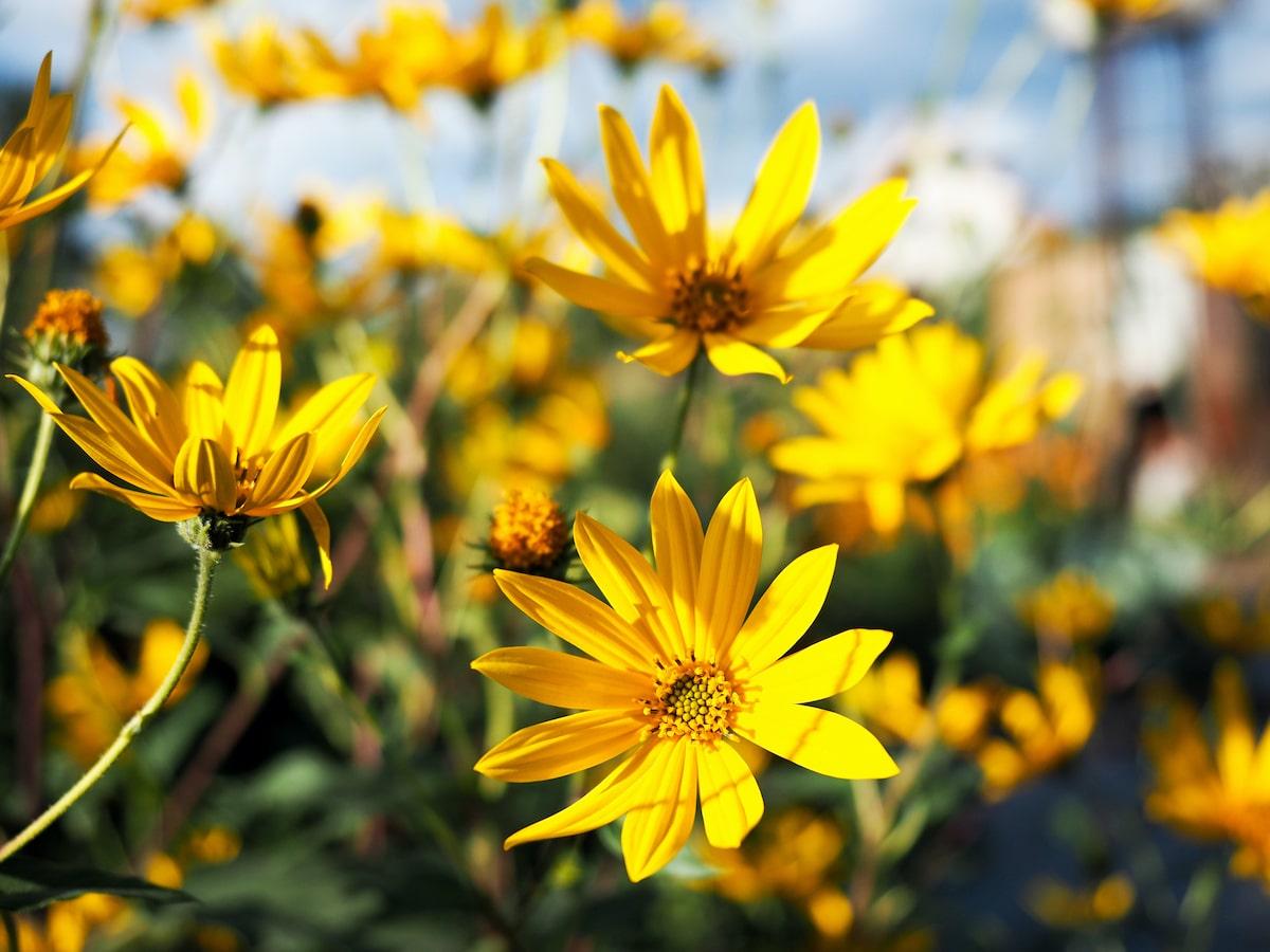 Topinambur Blüte
