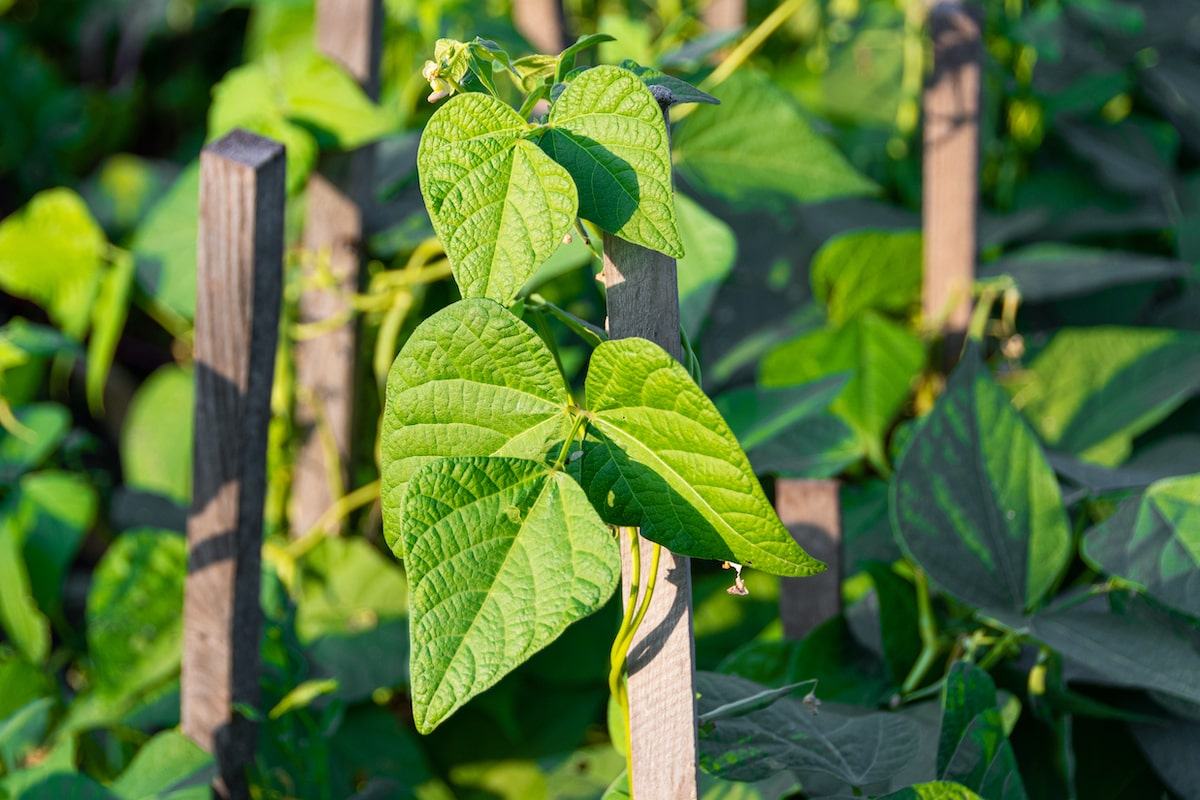 Stangenbohnen Pflanze