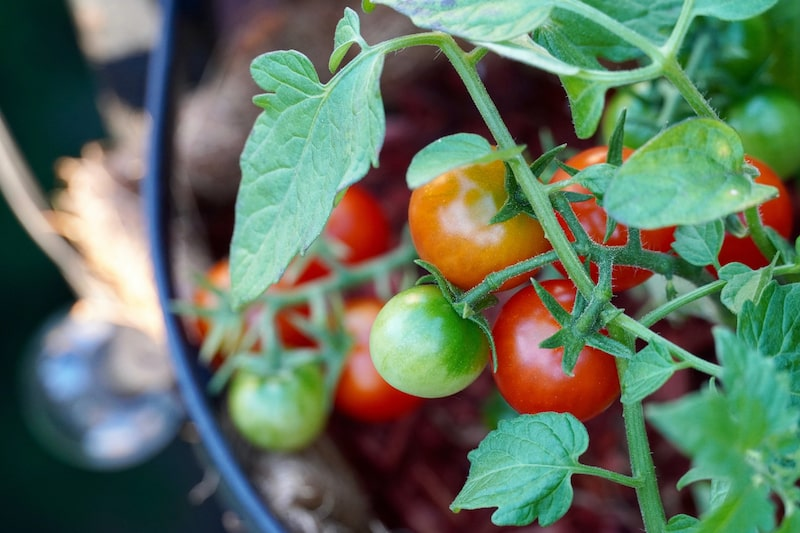 Fehler im Tomatenanbai um Kübel