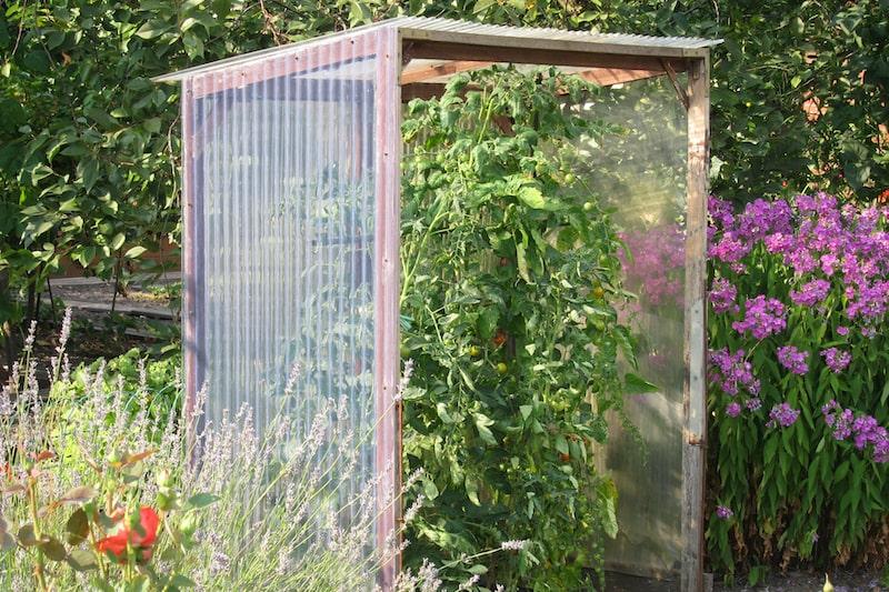 Tomaten geschützt anbauen