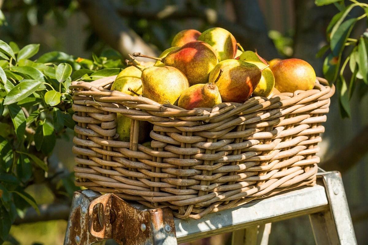 Frische geerntete Birnen zum Einkochen.