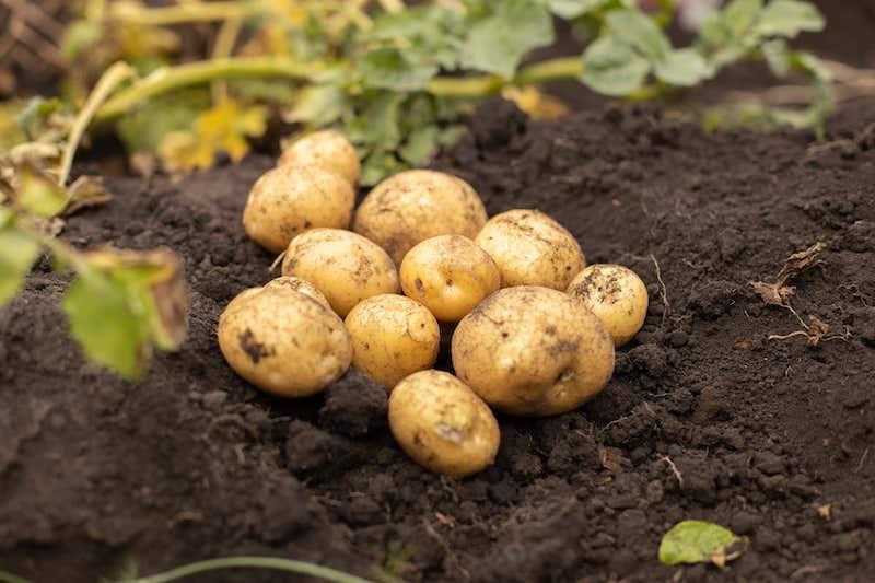 Kartoffeln sind geerntet und liegen auf dem dunklen Boden.