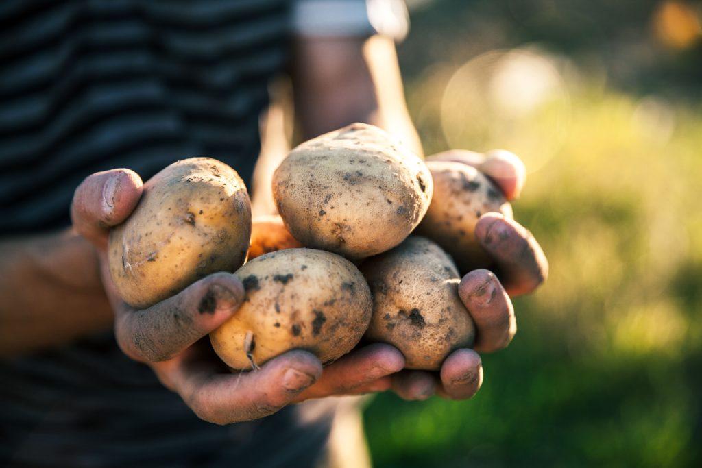 Geerntete Kartoffeln in den Händen.