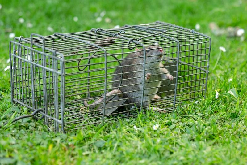 Ratte in Falle im Garten