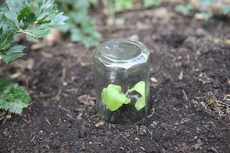 Jungpflanze unter Schraubglas
